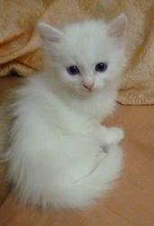 Белоснежный котик  турецкой магической